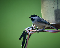 Black-capped Chickadee. Image taken with a Nikon D5 camera and 600 mm f/4 VR lens (ISO 640, 600 mm, f/5.6, 1/1250 sec).