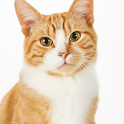 Orange and White Classic Tabby Cat on White