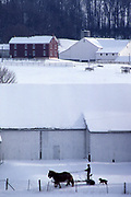 Amish farm in winter snow with farmer and mules, Lancaster Co., PA