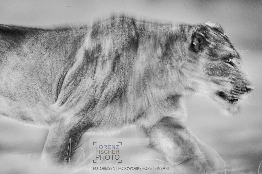 Eine weibliche Löwin (Panthera leo) des Busanga Prides geht ueber das Gras während der Dämmerung in der Busanga Plain im Kafue Nationalpark in Sambia beim Übergang zwischen Trockenzeit und Regenzeit. Der Löwe (Panthera leo, veraltet/poetisch Leu) ist eine Art der Katzen. Er lebt im Unterschied zu anderen Katzen in Rudeln, ist durch die Mähne des Männchens gekennzeichnet und ist heute in Afrika sowie im indischen Bundesstaat Gujarat beheimatet.