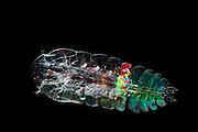 [Digital focus stacking] Marine Planktonic Copepod (Sapphirina sp.) Sapphirina, also called the sea sapphires is a copepod how is diffracting light with his exoskeleton [size of single organism: 1 mm] | Bei diesem männlichen Ruderfußkrebs der Gattung Sapphirina ist der geschichtete Aufbau des Chitinpanzers für die irisierende Erscheinung verantwortlich. Die Hypothese, dass die freischwimmenden Männchen diese Eigenschaft entwickelt haben, um ihren Kontrast gegenüber dem schwachen Umgebungslicht zu erhöhen, wird durch wissenschaftliche Untersuchungen unterstützt. Die Weibchen dieser Krebse leben parasitisch in Salpen. Ruderfußkrebse sind in der Nahrungskette das Bindeglied zwischen dem Phytoplankton und größeren Räubern im Meer. Sie stellen mindestens 60% der gesamten Biomasse des marinen Planktons.