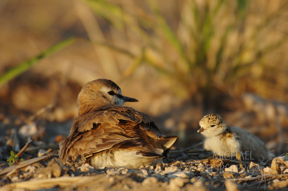 With an ability to hid in plain sight, the mountain plover and its newly hatched chick soak in evening sun at their nest in a fallow wheat field.  Kimball County, Nebraska