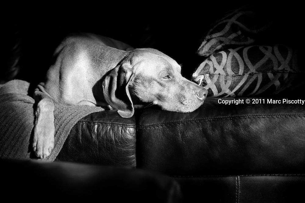 SHOT 11/13/11 9:49:20 AM - Tanner, a six year-old male Vizsla, relaxes in the sun on the sofa at his home in Denver, Co. The Vizsla, is a dog breed originating in Hungary. The Hungarian or Magyar Vizsla represents one of the best in sporting dogs and loyal companions and has a strong claim to being one of the smallest of the all-round pointer-retriever breeds. The Vizsla's size is one of the breed's most attractive characteristics and through the centuries he has held a unique position for a sporting dog -- that of household companion and family dog. The Vizsla is a natural hunter endowed with a good nose and an above average trainability. Although they are lively, gentle mannered, demonstrably affectionate and sensitive, they are also fearless and possessed of a well-developed protective instinct. (Photo by Marc Piscotty / © 2011)