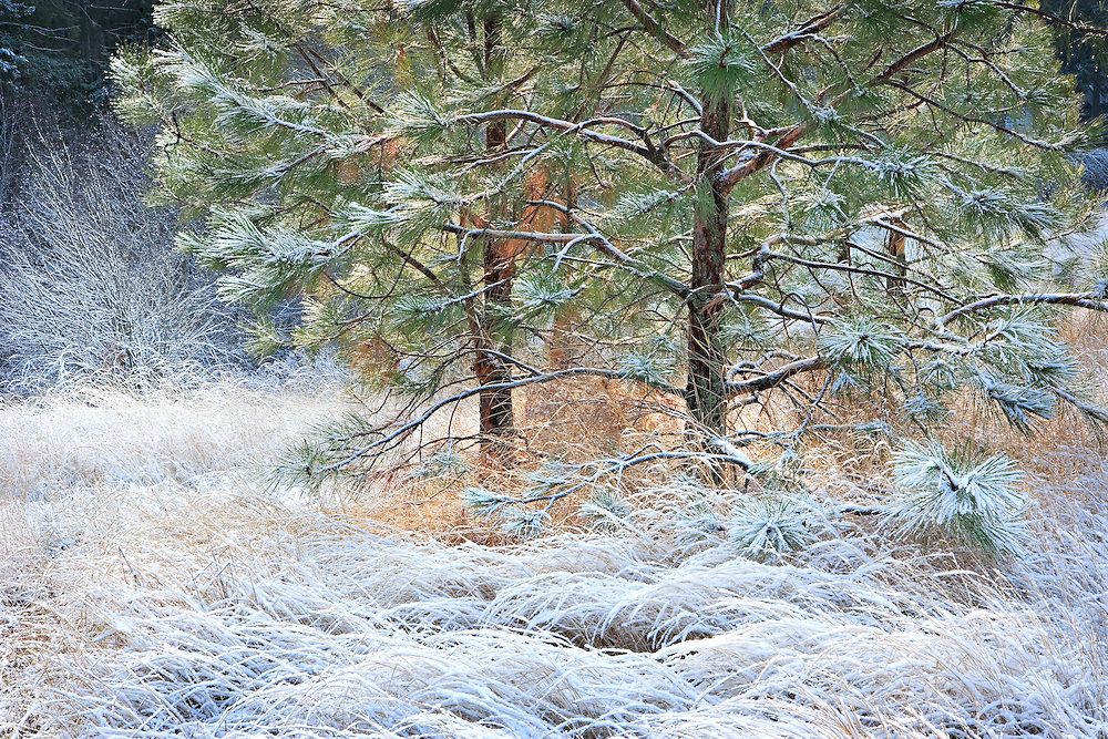 Frosted Winter Pine Tree in Early Morning Sunlight, Spokane, Washington