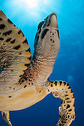 A Hawksbill Sea Turtle,  Eretmochelys imbricata, surfaces for air in Tiputa Pass, Rangiroa, French Polynesia