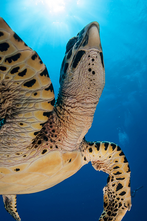 A Hawksbill Sea Turtle,  Eretmochelys imbricata, surfaces for air in Tiputa Pass, Rangiroa, French Polynesia