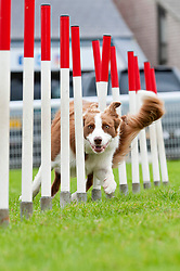 © Licensed to London News Pictures. 18/08/2018. Llanelwedd, Powys, UK. A Collie negotiates 'the weave' at the agility events on the second day of The Welsh Kennel Club Dog Show, held at the Royal Welsh Showground, Llanelwedd in Powys, Wales, UK. Photo credit: Graham M. Lawrence/LNP