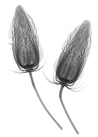 X-ray image of midnight marvel hibiscus flower buds (Hibiscus 'Midnight Marvel', black on white) by Jim Wehtje, specialist in x-ray art and design images.