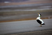 Common eider duck, Svalbard
