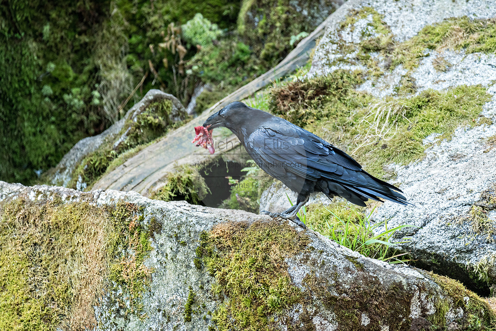 A common raven steals a scrap of salmon from bears feeding at Anan Creek in the Tongass National Forest, Alaska. Anan Creek is one of the most prolific salmon runs in Alaska and dozens of black and brown bears gather yearly to feast on the spawning salmon.