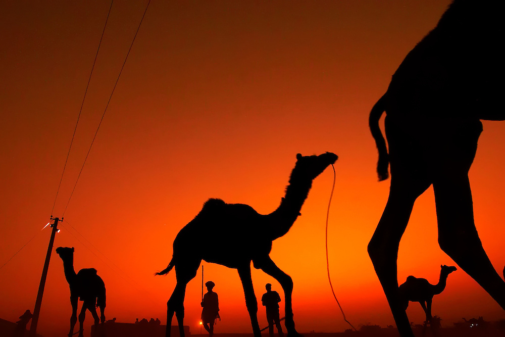 A group of Camels running at the sunset, Pushkar Camel Fair, Rajasthan.