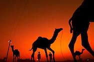 A group of Camels running at the sunset, Pushkar Camel Fair, Rajasthan.
