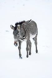 Zebra in the snow at Edinburgh Zoo..©Michael Schofield.