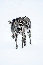 Zebra in the snow at Edinburgh Zoo..©Michael Schofield.