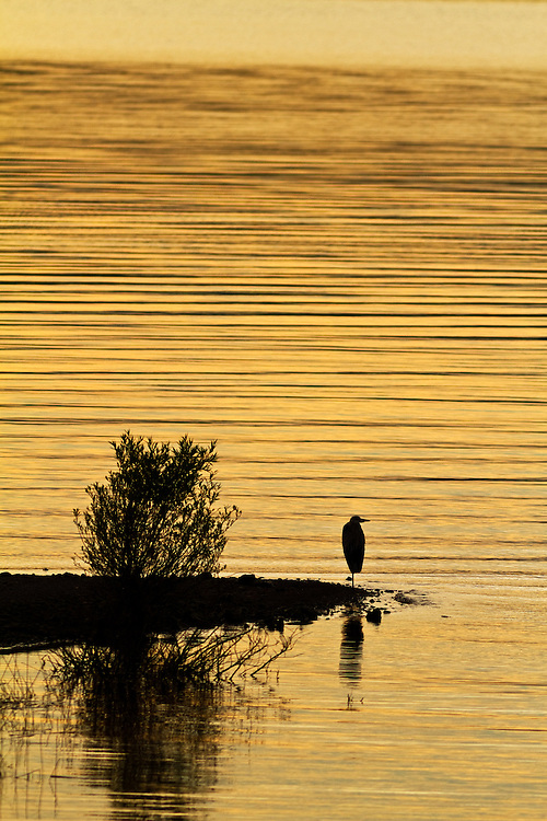 Egret silhouetted at sunset on Island Park Dam created by the Henrys Fork of the Snake River in Eastern Idaho. An egret is any of several herons, most of which are white or buff, and several of which develop fine plumes (usually milky white) during the breeding season.