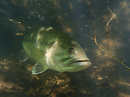 Largemouth Bass<br /> <br /> Todd Pearsons/Engbretson Underwater Photography