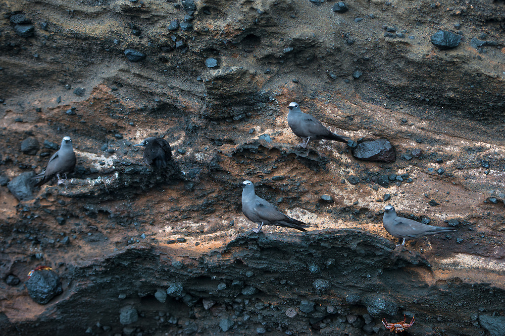 Brown Noddy (Anous stolidus galapagensis)<br /> Punta Vicente Roca, Isabela Island<br /> Galapagos<br /> Ecuador, South America<br /> ENDEMIC SUBSPECIES