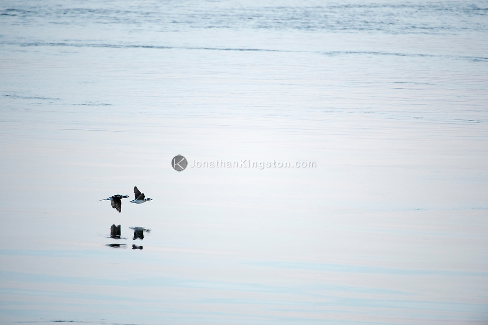 Two birds fly low over the calm surface of the ocean in Alaska.