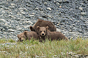 Brown bear spring cubs rest at the lower lagoon at the McNeil River State Game Sanctuary on the Kenai Peninsula, Alaska. The remote site is accessed only with a special permit and is the world's largest seasonal population of brown bears in their natural environment.