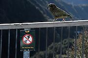 Kea (Nestor notabilis) Arthur's Pass, New Zealand | Kea oder Bergpapagei (Nestor notabilis) - Keas sind sehr neugierig, sie versuchen alles ihnen Unbekannte zu erforschen. Diese Eigenschaft nennt man Neophilie. Im Gegensatz zu allen anderen Vögeln behält der Kea diese Eigenschaft sein ganzes Leben. Arthur's Pass, Neuseeländische Alpen, Neuseeland.