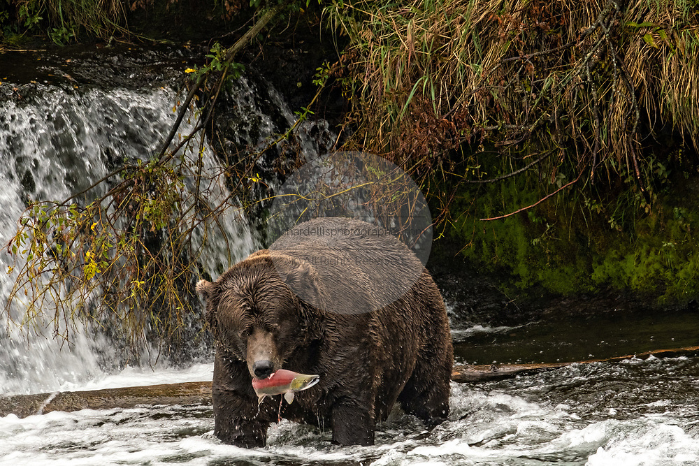 The dominate male adult Brown Bear known as 747, catches a Sockeye Salmon in the far pool at Brooks Falls in Katmai National Park and Preserve September 15, 2019 near King Salmon, Alaska. The park spans the worlds largest salmon run with nearly 62 million salmon migrating through the streams which feeds some of the largest bears in the world.