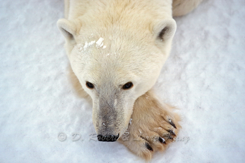 Polar bear in arctic environment