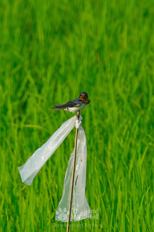 Barn Swallow, Hiruno rustica, resting on a cane flagged with plastic to scare away birds
