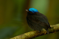 Blue-crowned Manakin (Lepidothrix coronata)<br />