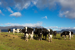 A herd of cattle stand in front of The Great Western Tiers covered in snow near Blackwood Creek in Tasmania's northern midlands.
