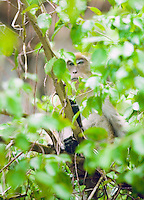 A Long-Tailed Macaque in a tree, Southern Thailand&#xA;<br />