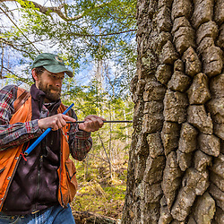 A forestry grad student (Michael Simmons) takes a core sample from a black gum tree (tupelo), Nyssa sylvatica. The core will be examined under a microscope to estimate the age of the tree. Barrington, New Hampshire.