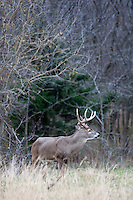 Mature non-typical whitetail buck with a broken antler