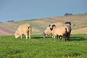 Sheep grazing, Gloucestershire, England