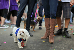 31 January 2016. New Orleans, Louisiana.<br /> Mardi Gras Dog Parade. Wheezy the Lhasa Apso at the Mystic Krewe of Barkus as the parade winds its way around the French Quarter with dogs and their owners dressed up for this year's theme, 'From the Doghouse to the Whitehouse.' <br /> Photo©; Charlie Varley/varleypix.com