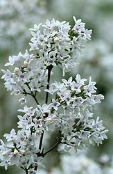 Syringa x persica 'Alba' - Persian lilac