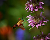 Hummingbird Clearwing moth feeding on a Lemon Mint flower. Image taken with a Nikon D5 camera and 80-400 mm VRII lens (ISO 280, 400 mm, f/8, 1/800 sec).