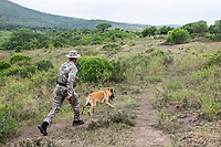 Anti-poaching tracking dog following a spoor , Thula Thula Game Reserve, KwaZulu Natal, South Africa
