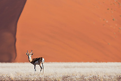 A springbok (Antiforcas marsupials) stands in front of a large dune along Namibia's Skeleton Coast, Namibia