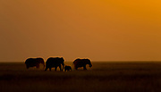 African elephants at dusk. Amboseli NP, Kenya.