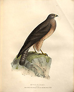 common buzzard (Buteo buteo syn Buteo vulgaris) color plate of North American birds from Fauna boreali-americana; or, The zoology of the northern parts of British America, containing descriptions of the objects of natural history collected on the late northern land expeditions under command of Capt. Sir John Franklin by Richardson, John, Sir, 1787-1865 Published 1829