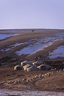 Mongolia. camp of catle breeder in winter . cattle and yurt in the snow , Khurjit area