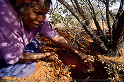 Kitty Miller prepares extracts a Witchetty grub from the root of a Witchetty Bush in the outback outside of Alice Springs in Central Australia. Grubs are high in protein and were a traditional meal of the areas' Aboriginal peoples (all but forgotten in the face of modern supermarket foodstuffs). Witchetty grubs are the larvae of cossid moths. The large white worms live in tunnels in the ground where they feed on sap from the roots of a species of Acacia, commonly known as Wichetty Bush. Image from the book project Man Eating Bugs: The Art and Science of Eating Insects.