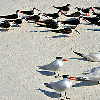 Colonies of Shorebirds on the Beach in Naples, Florida<br />