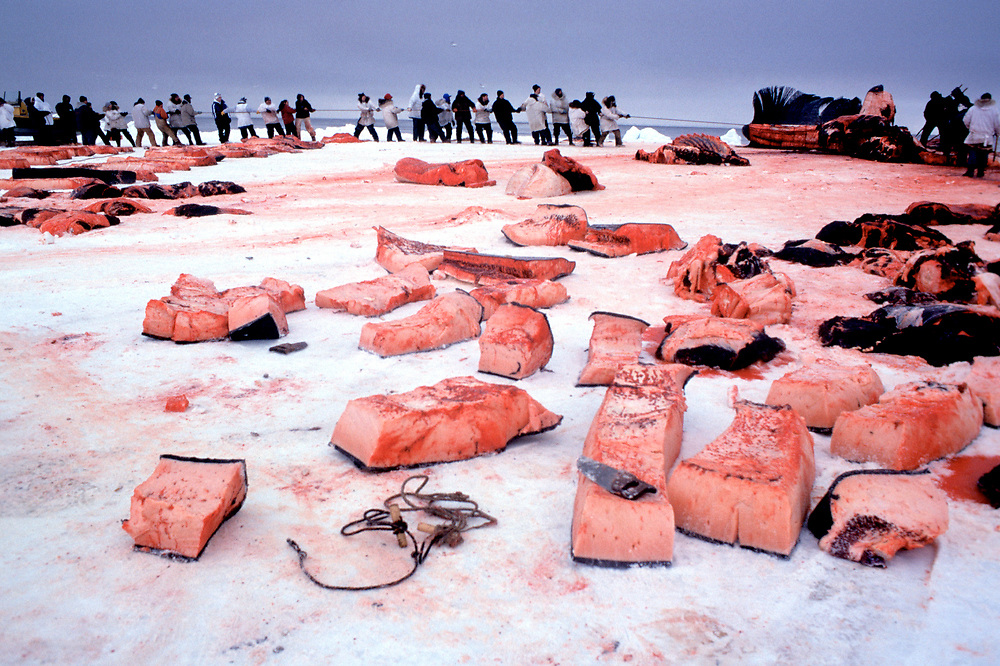 Barrow, Alaska, Blubber of Muktuk, harvested from the carcass of a bowhead whale