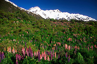 Mountain lupins, Mt. Cook National Park, New Zealand