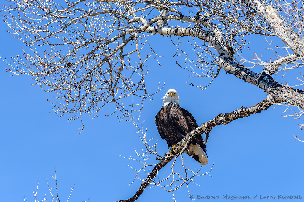 Bald Eagle [Haliaeetus leucocephalus] perched on tree limb to rest and preen; Sherman Lake, Homelake State Wildlife area, CO
