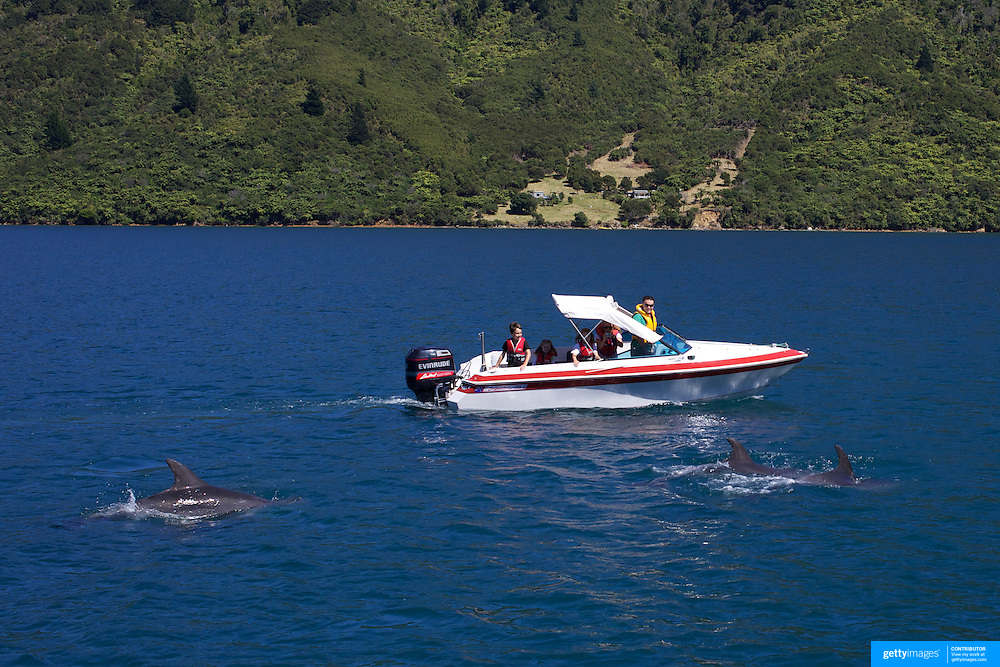 Dolphins in playful mood near a pleasure craft with children in Queen Charlotte Sound, South Island, New Zealand..The dolphins are viewed by tourists on a 'swimming with Dolphins' trip with Dolphin Watch Eco Tours, run out of Picton, South Island, New Zealand. 27th January 2011. Photo Tim Clayton..