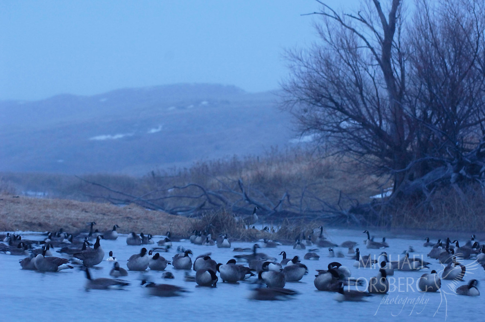Canada geese and a common merganser mingle on the roost during and icy morning in early January.  Nebraska Sandhills.