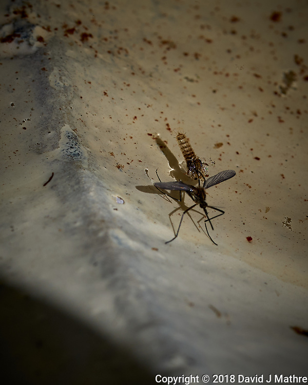 Mosquito emerging from the water. Image taken with a Leica TL2 camera and 60 mm f/2.8 macro lens
