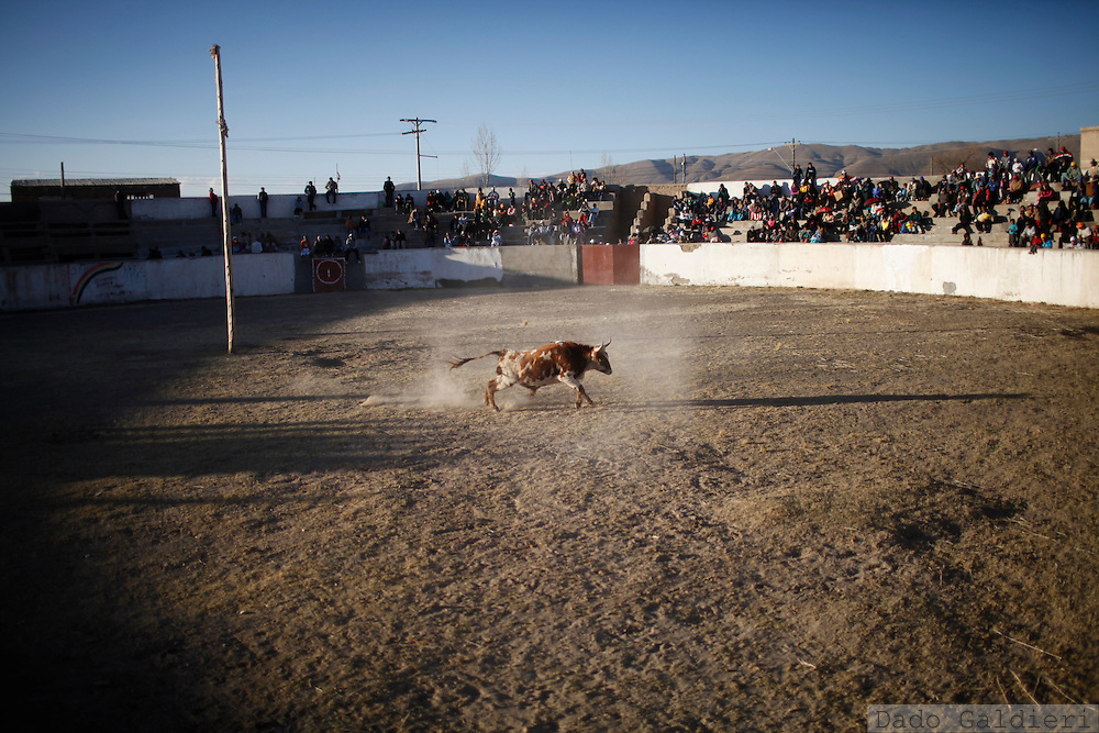 A young bull runs into the bullring during a bullfight parody in the Andean village of Vinto, Bolivia, Saturday July 10, 2010. A group of traveling amateur bullfighters presented a parody of the Spanish bullfight, but without the traditional sacrificing of the bull, as part of their tour through Bolivia's highlands providing entertainment during the southern hemisphere winter.